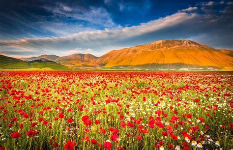 poppy field hd wallpaper background image