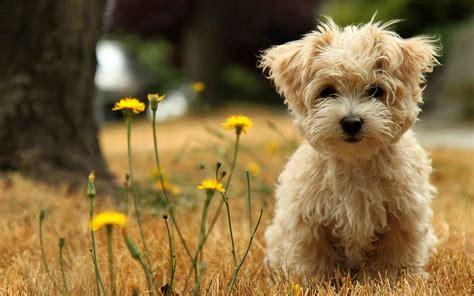 可爱超萌的小奶狗电脑壁纸图片大全_可爱图片