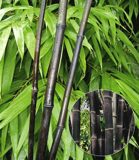 Immergrüne Sträucher Für Kübel by Schwarzer Bambus Black Bamboo 1a Qualit 228 T Kaufen Baldur