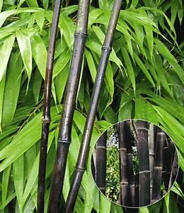 Bambus Pflege Zimmerpflanze : zimmerbambus kaufen zimmerbambus kaufen gl cksbambus ~ Michelbontemps.com Haus und Dekorationen