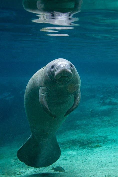 Best 25 Manatees Ideas On Pinterest Manatee Pictures