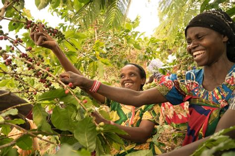 There are about 400,000 families who farm coffee in rwanda, and most of them live in small mud and brick houses, or a concrete house, when they are better off. Let's Talk Coffee Best of Rwanda unites Rwandan farmers ...