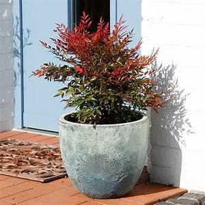 Bambus Zurückschneiden Frühjahr : heiliger bambus xl qualit t von g rtner p tschke ~ Whattoseeinmadrid.com Haus und Dekorationen