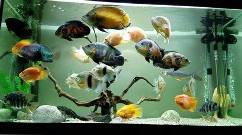 Gambar Ikan Lele Terlengkap jenis dan harga ikan hias predator murah terlengkap
