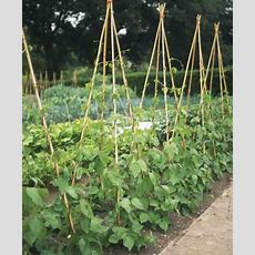How To Grow French Beans  Garden  Grit Magazine