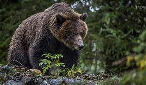 Save their Home: Act Now to Protect Grizzly Bears - The ...  Grizzly