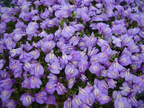 purple flowering perennial ground cover roses mazus reptan creeping mazus deer flowers and perennials