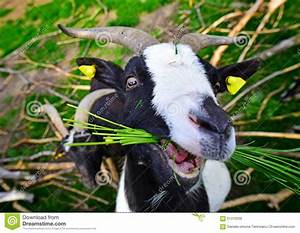Goat Eating Grass Stock Image  Image Of Rural  Portrait