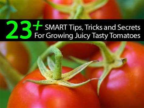 tomatoes growing tips 23 plus tomato tips secrets gardening pinterest tomatoes growing tomatoes and tips