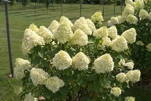 Hortensie Endless Summer Standort : hortensie limelight f r hecken geeignet hortensien ~ Lizthompson.info Haus und Dekorationen