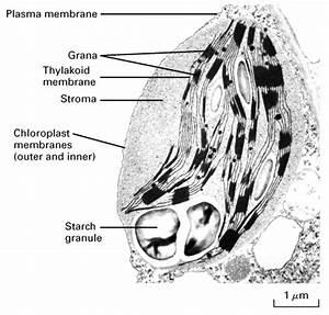 Transmission Electron Micrograph of Chloroplast- Michael W ...