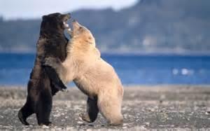 Largest Alaskan Grizzly Bear