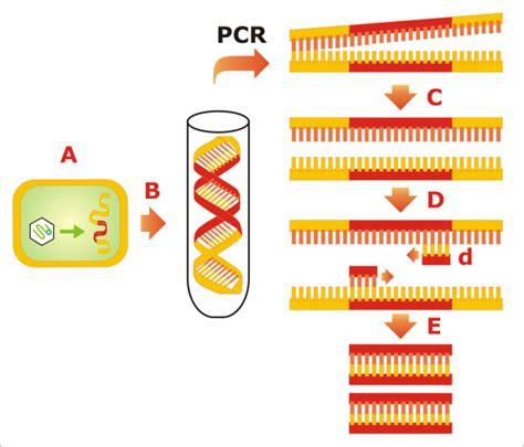 bureau de la pcr secuenciación adn reacción en cadena de la polimerasa
