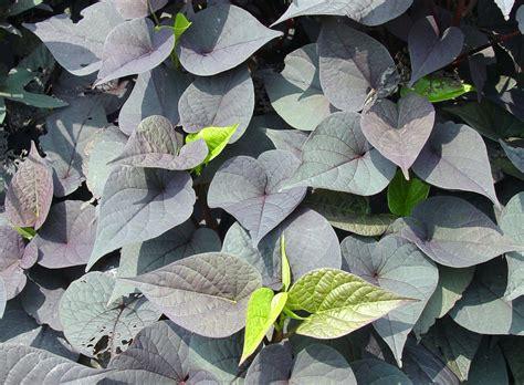 Decorative Potato Plant - garden housecalls ornamental sweet potato vine