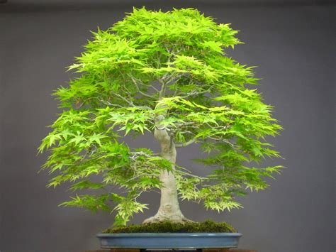 50 japanese bonsai maple tree seeds mini bonsai tree for