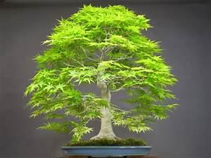 Pflege Bonsai Baum Indoor : 50 japanische bonsai ahorn baumsamen mini ~ Michelbontemps.com Haus und Dekorationen