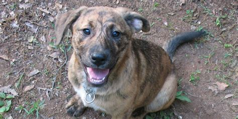Do All Dogs Shed Hair by Plott Hound Information Characteristics Facts Names