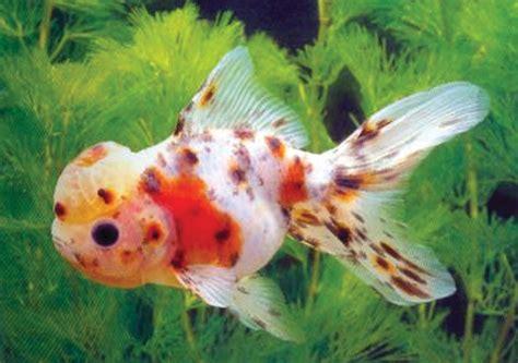 kaltwasserfische zoofachmarkt graeber