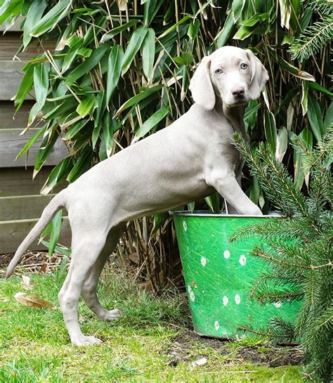 weimaraner info temperament puppies pictures