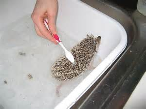 hedgehogs as pets an introductory guide animaltia