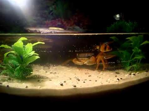 krab teczowy  akwarium youtube