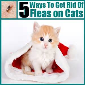 getting rid of cat fleas 5 diy ways to prevent and get rid of fleas on cats