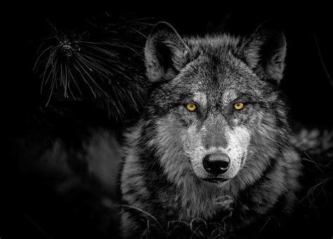 Creatures Of The Night Wolves