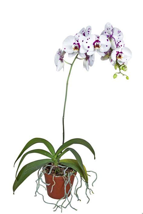 Come Curare Orchidea In Casa by Orchidea Cura Della Pianta In Casa Orchidea Cura Della