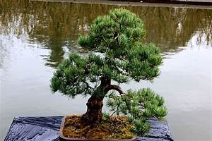Arbre En Nuage : la taille en nuage secret des jardins zen petit paysagiste ~ Melissatoandfro.com Idées de Décoration