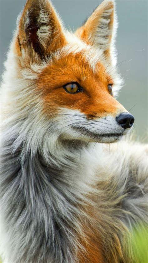 wallpaper fox wild gray red animals