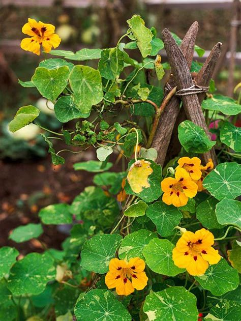 31 best the best perennial and annual vines for your