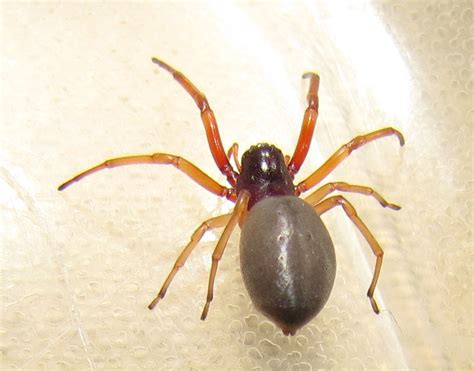broad faced sac spider spiders  sutton massachusetts