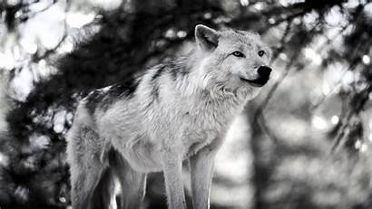 Wolf Phone Wallpapers Mobile Snowy Animals Wolves