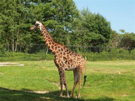 zoo toronto canada ontario animals giraffa zoos camelopardalis 8b file around fascinating most commons come close wikimedia