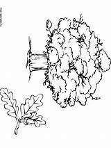Oak Tree Coloring Pages Printable Trees sketch template