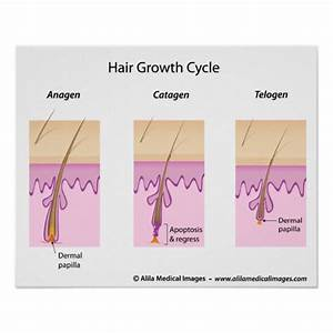 Hair Growth Cycle Labeled Version Diagram  Poster