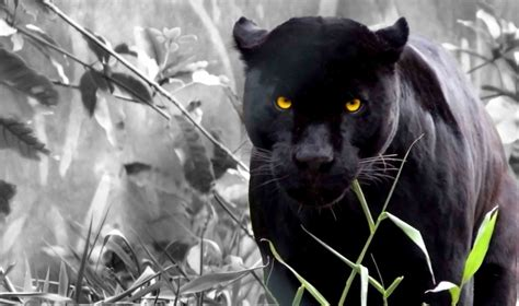 Cool Panther Pictures On Animal Picture Society