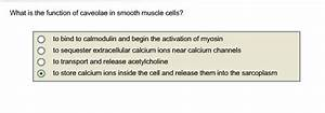 Solved: What Is The Function Of Caveolae In Smooth Muscle ...