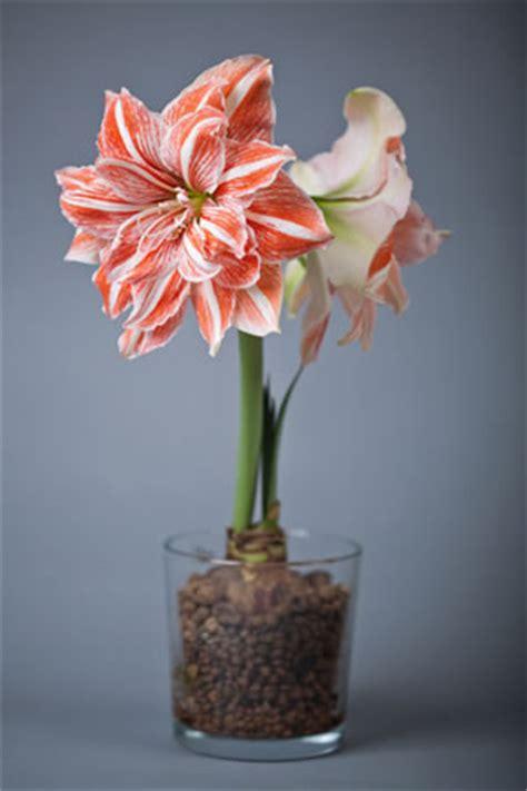 amaryllis ritterstern pflege und ueberwintern