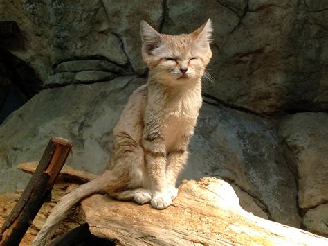 sand cat  sleepy lincoln park zoo