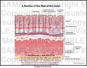 A Section Of The Wall Of The Colon Medical Illustraiton Medivisuals