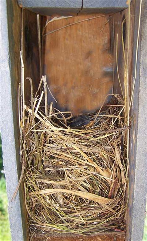 eastern bluebird nest eggs  young identification