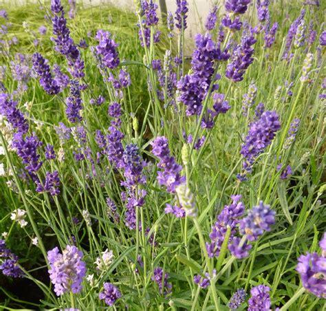 lavandula angustifolia care buy lavandula angustifolia hidcote lavender in the uk
