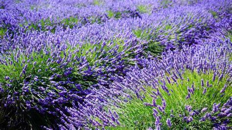 when should you plant lavender when should you plant lavender reference com