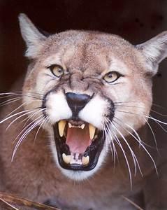 Cougar Teeth