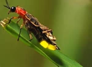 What Do Fireflies Look Like