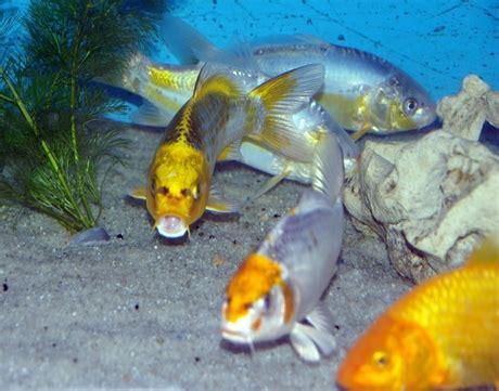 carpe koi dans aquarium les poissons de bassin