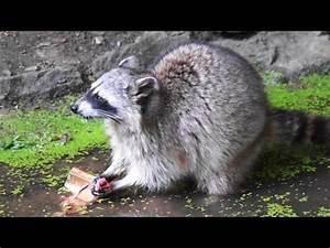 Was Fressen Waschbären : waschb r beim fressen im wildtierpark faszination tierwelt youtube ~ Frokenaadalensverden.com Haus und Dekorationen