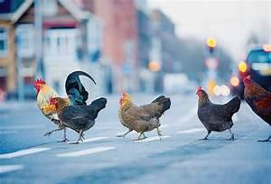 Comment élever Des Poules Pondeuses : comment lever des poules en ville ~ Dode.kayakingforconservation.com Idées de Décoration