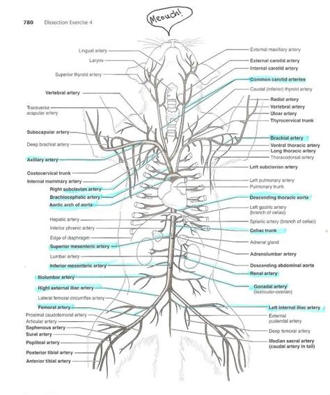 After completing this section, you should know: anatomyforme: Diagrams of Feline Arterial and Venous ...